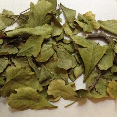 leaves of Taaibos